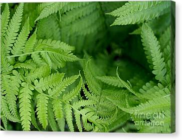 Ostrich Fern Leaves Canvas Print