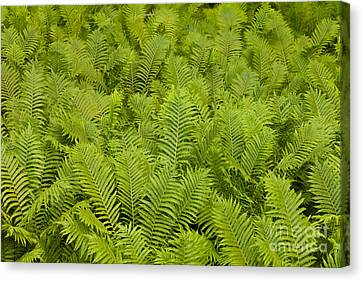 Ostrich Fern Matteuccia Struthiopteris Background Canvas Print