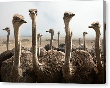 Ostrich Heads Canvas Print