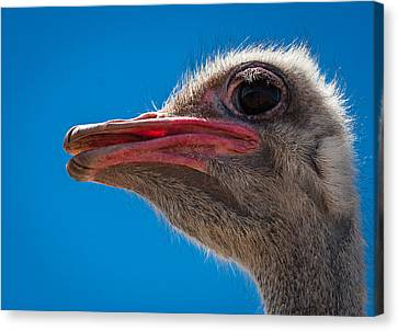 Ostrich Profile Canvas Print by Jean Noren