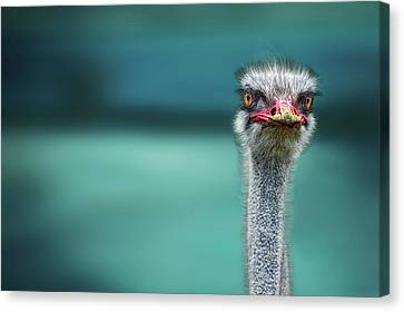 Ostrich Protecting Two Poor Chicken From The Wind Canvas Print