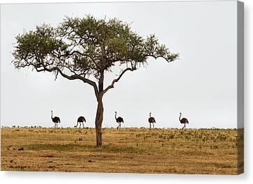 Ostrich Walk Canvas Print by Joe Bonita