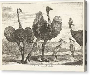 Ostriches, Cassowary And Spoonbill, Grard Scotin Canvas Print by G?rard Scotin (i)
