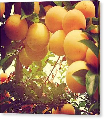 Food And Beverage Canvas Print - Our Plum Tree Is Loaded This Year...any by Blenda Studio