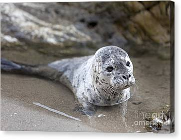 Out For A Swim Canvas Print by David Millenheft