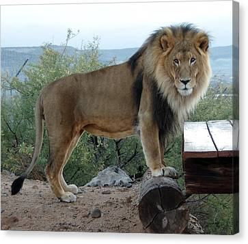 Out Of Africa  Lion 1 Canvas Print