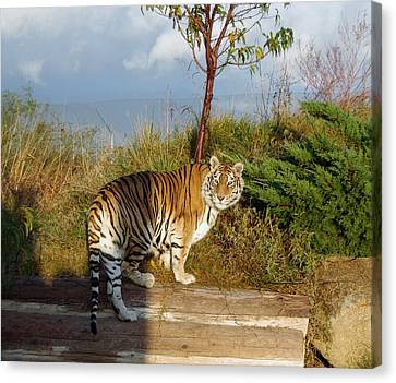 Out Of Africa  Tiger 1 Canvas Print