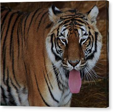 Out Of Africa  Tiger 2 Canvas Print
