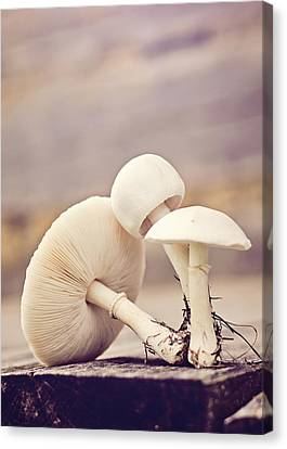 Button Mushrooms Canvas Print - Out Of The Ground by Heather Applegate