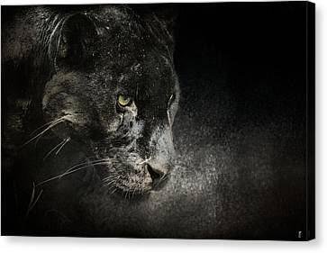 Out Of The Shadows - Wildlife - Black Leopard Canvas Print