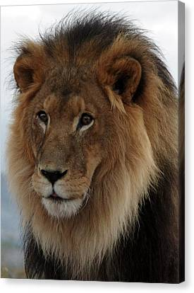 Out Ofafrica  Lion 4 Canvas Print