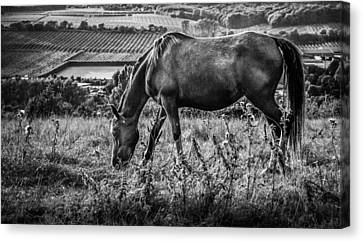 Wild Horse Canvas Print - Out To Grass by Ian Hufton