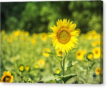 Outstanding In Her Field Canvas Print by Terry Rowe