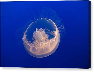 Monteray Bay Canvas Print - Over The Moon Jelly by Scott Campbell