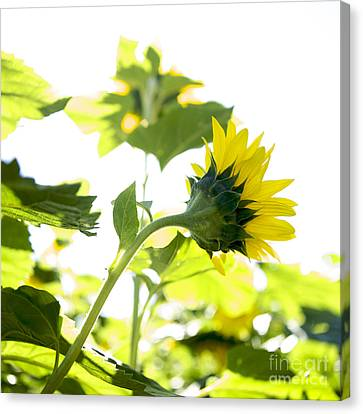 Overexposed Sunflower Canvas Print by Bernard Jaubert