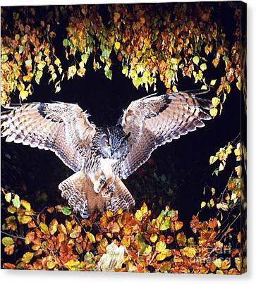 Owl About To Land Canvas Print by Manfred Danegger