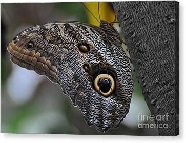 Canvas Print featuring the photograph Owl Butterfly by Bianca Nadeau