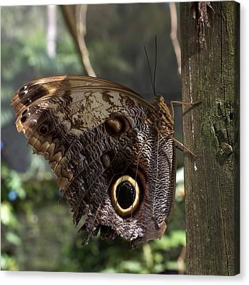 Owl-eye Butterfly (caligo Canvas Print