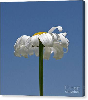 Oxeye Daisy Canvas Print by Dee Cresswell