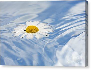 Oxeye Daisy Floating On Water Canvas Print