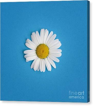 Oxeye Daisy Square Blue Canvas Print