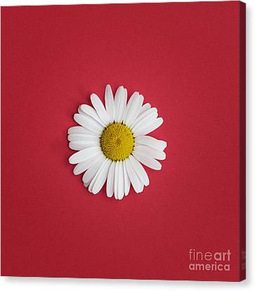 Oxeye Daisy Square Red Canvas Print by Tim Gainey