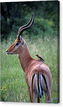 Canvas Print featuring the photograph Oxpecker And Impala by Dennis Cox WorldViews