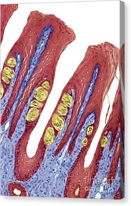 P4780084 - Taste Buds Lm Canvas Print by Spl