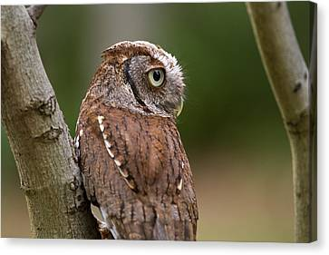 Canvas Print featuring the photograph Pablo The Screech Owl by Arthur Dodd