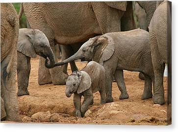 Animal Canvas Print - Pachyderm Pals by Bruce J Robinson