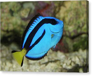 Pacific Blue Tang Canvas Print
