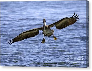 Pacific Coast Brown Pelican Canvas Print by Tim Moore