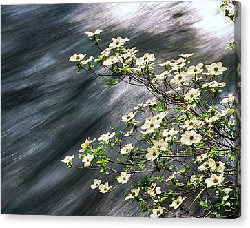 Pacific Dogwood Cornus Nuttallii Canvas Print