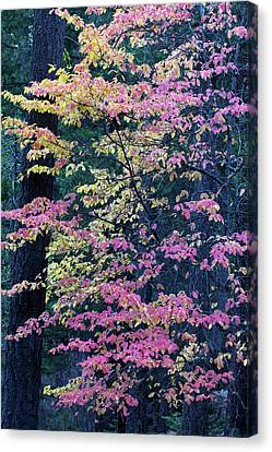 Pacific Dogwood Trees In Autumn Hues Canvas Print