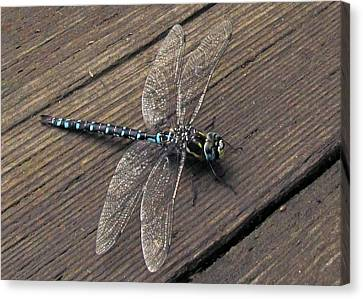 Pacific Forktail Canvas Print