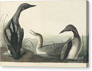 Heron Canvas Print - Pacific Loon  by Celestial Images