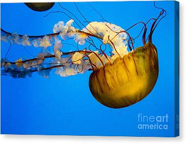 Pacific Nettle Jellyfish Canvas Print by Darleen Stry