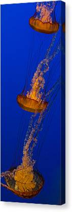 Monteray Bay Canvas Print - Pacific Sea Nettles In A Row by Scott Campbell