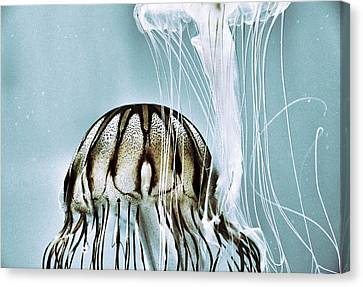 Pacific Sea Nettles Canvas Print by Marianna Mills