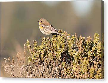 Pacific Sloped Flycatcher Canvas Print by Natural Focal Point Photography