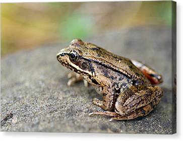 Pacific Tree Frog On A Rock Canvas Print by David Gn