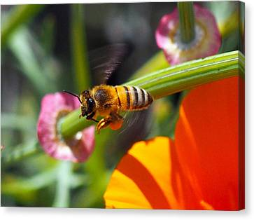 Packin Poppy Pollen Canvas Print