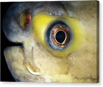 Pacu Fish Canvas Print by Nigel Downer