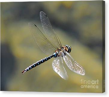 Paddletail Darner In Flight Canvas Print by Vivian Christopher