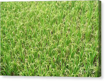 Canvas Print featuring the photograph Paddy Field by Yew Kwang