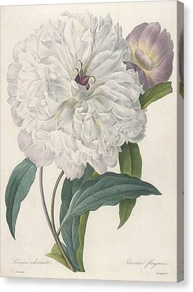In Bloom Canvas Print - Paeonia Flagrans Peony by Pierre Joseph Redoute