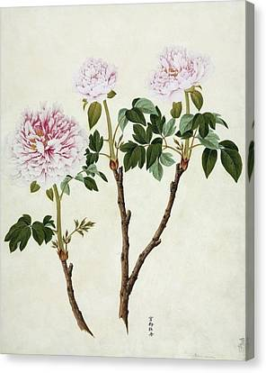 Paeonia Moutan, 19th-century Artwork Canvas Print by Science Photo Library