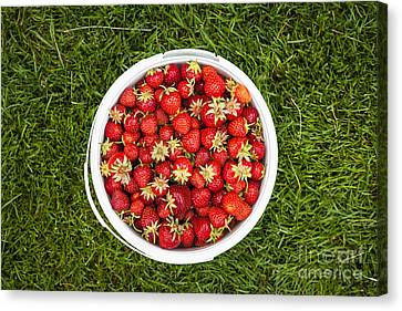 Pail Of Strawberries  Canvas Print by Elena Elisseeva
