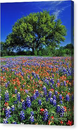 Live Oaks Canvas Print - Paintbrush And Bluebonnets - Fs000057 by Daniel Dempster