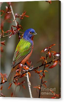 Painted Bunting - Male Canvas Print by Kathy Baccari